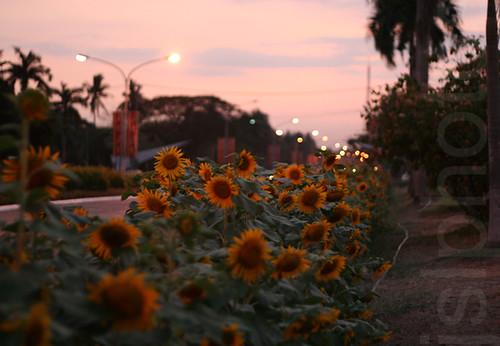 Sunflower Lane