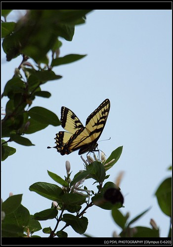Eastern Tiger Swallowtail (Papilio glaucus) 1