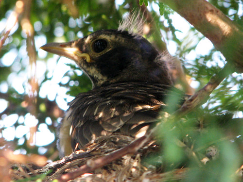 Baby American Robin hours from fledging