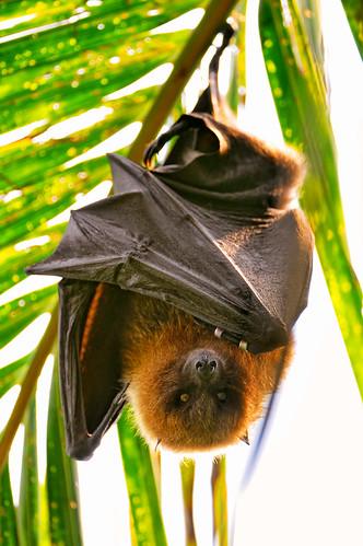 [フリー画像] 動物, 哺乳類, コウモリ, 201005291100