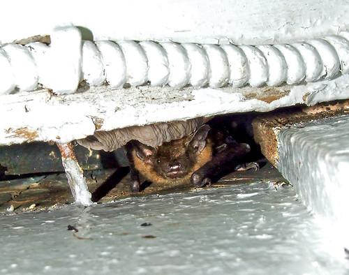 portico bat (little brown myotis)