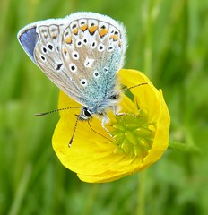 Common Blue Butterfly (ukstormchaser (A.k.a The Bug Whisperer)) Tags: uk blue animal animals butterfly fly wildlife butterflies flies milton keynes common