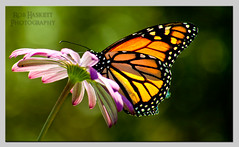 monarch006 (Rob Haskett Photography) Tags: orange white flower butterfly purple rob monarch perched 500d quarrypark haskett tepuna 55250mmefs t1i