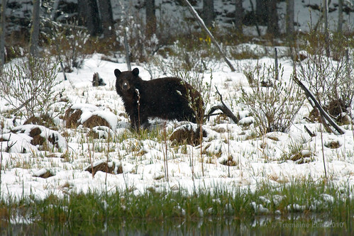 Kananaskis - Brown Bear