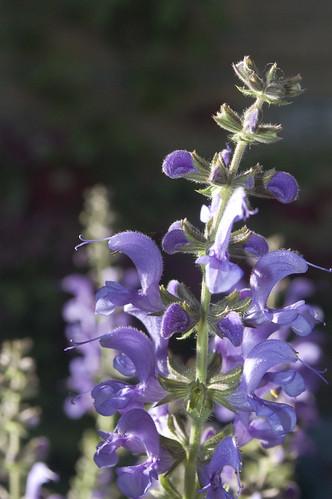 Salvia nemorosa 'Rhapsody in Blue'