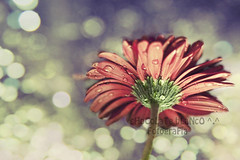 iluminada (Priscila Alonso www.facebook.com/viviridis) Tags: flor flower luz light color colour bokeh nikon d80 canarias grancanaria textura texture 50mm f14 gota drop agua water cruzadas 6retos6 ltytrx5 ltytr1