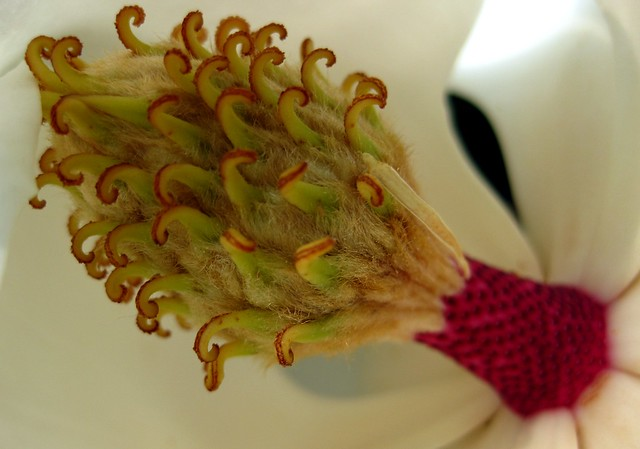interior flor Magnolia grandiflora