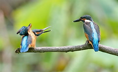 Siblings (jcowboy) Tags: bird nature birds animal animals japan asia wildlife kingfisher aichi 2010 obu kingfishers  specanimal june2010 hoshinaike