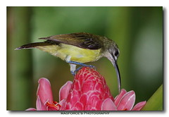 Little Spiderhunter (magforce) Tags: nature singapore mog wildbirds mandaiorchidgarden littlespiderhunter