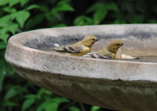 lesser goldfinches in the bath