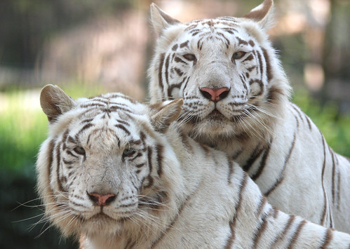 White tiger by floridapfe
