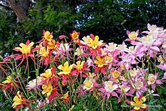 Garden Nirvana (Gary Grossman) Tags: pink red beauty june yellow oregon garden spring flora colorful heaven nirvana blossoms inspired calm valley blooms inspirational bliss bounty inspiring willamette columbines willamettevalley