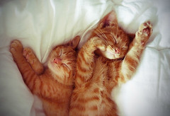 sleepykittensies (peachcheeks) Tags: sleeping cute ginger sweet adorable kittens meow asleep stripy