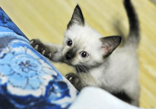 cute siamese kitten cat pic