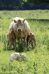 Bovine quartet (tommyajohansson) Tags: white london geotagged cow ko calf bovine hounslow osterley quartet osterleypark isleworth osterleyhouse faved kalv kvartett tommyajohansson