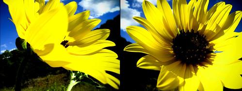 Sunflower - Day 135