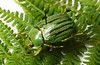 Plusiotis gloriosa (Mashku) Tags: beetles scarabeidae rutelidae rutelini
