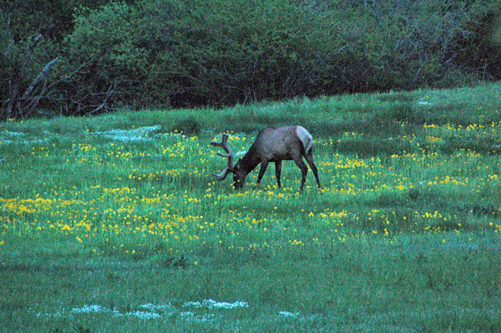 elk-in-meadow!.jpg