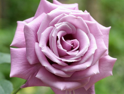 Lovely soft purple rose