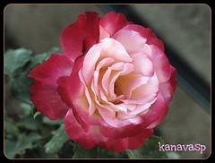 To All My Flickr Friends...!!! (kanavasp) Tags: naturesfinest supershot fantasticflower abigfave impressedbeauty bestofmywinners coth5 newgoldenseal