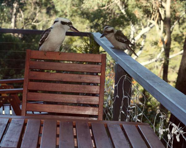 Kookaburra Karragarra3