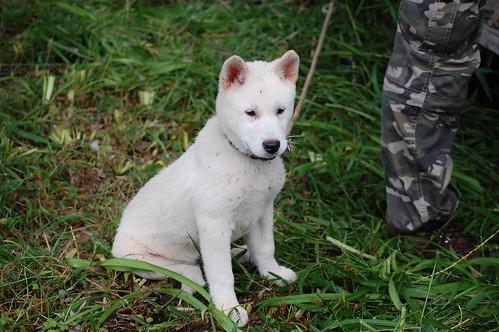 Kishu Pup