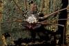 Tail-less Whip spider (Damon sp.?) (pbertner) Tags: macro peru spider amazon rainforest legs arachnid selva 8 jungle patas spinne araña makro manu biology 蜘蛛 hutan beine araignée kaki dschungel biologie macrophotography macrography arachnide biología macrofotografía паук biologi حيوان amblypygid arácnido विज्ञान makrofotografie macrografía का मकड़ी पैर ног makrografie जंगल मैक्रो биологии макрофотографии макросов 生物学丛林宏观翻拍肉眼8条腿 जीव 生物学のジャングルのマクロ超接写写真の肉眼検査8脚の джунглях 节肢动物 عنكبوتي spinnentierlabahlabah паукообразный