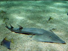 Guitarfish