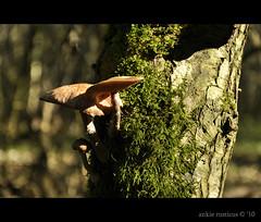 honingzwammen aan een boomstam (Ankie Rusticus, I'm not much here) Tags: nature mushrooms bomen natuur fungi paddenstoelen zwammen beesterzwaag