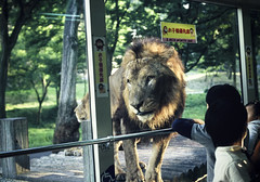Lion Bus Tour (Clark Tanaka) Tags: film nikon fuji lion explore provia fe2 400x explored fujiprovia400x800 flickrbigcats afs50mmf14d
