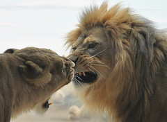 Lovers' Quarrel (Eve'sNature) Tags: cats zoo paradise all milwaukee lions lioness bigcats natures mywinners allnaturesparadise