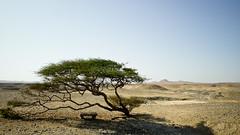 Lonely (MipHka) Tags: mountains tree sand rocks desert wind egypt ветер дерево горы камни песок египет пустыня