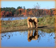 Fall In New England (Higher Standards) Tags: fall newengland nh autumnleaves spoo poodle laconia judd standardpoodle redpoodle thejuddster spoobestshot