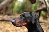Felix 09 (Martin Hesketh) Tags: dogs oscar felix doberman martinhesketh