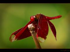 Miss Colorful (bijoyKetan) Tags: colors beauty butterfly bugs bangladesh panchagarh impressedbeauty macrolife