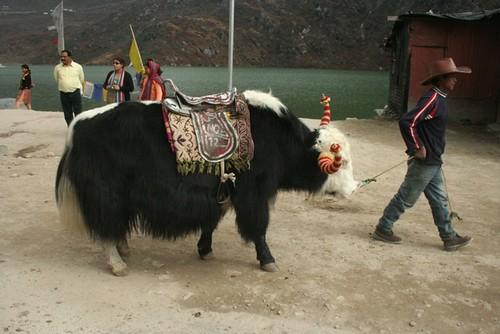 nathula yak