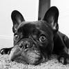 Mug Shot (Lainey1) Tags: wideangle oz ozzy dog frenchie bulldog lainey1 elainedudzinski frogdog zendog frenchbulldog ozzythefrenchie leica leicadlux4 bw monochrome