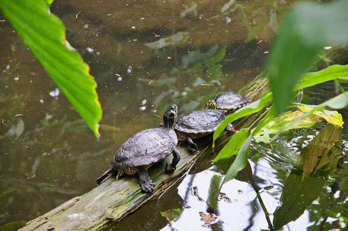 Terrapins at Amazon World