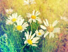 DSC_0189  Daisies (Light Leak) (Sam T (samm4mrox)) Tags: flowers macro nikond70 maine newengland summer 2017 lisbonmaine usa nature