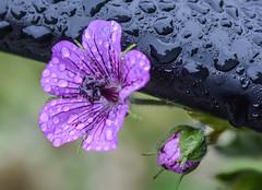 Morning Freshness. (Omygodtom) Tags: flower focus flora park purple green tamron90mm tamron texture nikkor composition contrast nature natural path bench dof d7100 digital blossom bloom