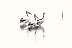 Pelicans in White DSC_2842 (BlueberryAsh) Tags: wtp birds pelican westerntreatmentplant australianbird monochrome nikond750 australian