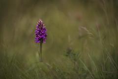 On the Verge (EXPLORED) (SkyeWeasel) Tags: scotland skye plant flower orchid wildflower dactylorhiza ngc