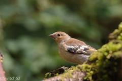 Schotland 2017-131 (Switch62) Tags: scotland 2017 aberfoyle dukes pass visitor centre vink finch