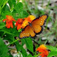 Butterfly - Danaus gillippus (austexican718) Tags: butterfly insect fauna texas orange vine flower danausgillippus queen
