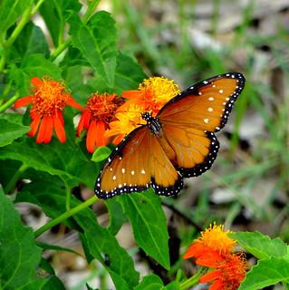 Butterfly - Danaus gillippus