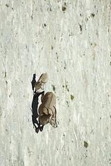 Stambecchi alla diga del Cingino, Val Antrona settembre 2014 (Zaffiro&Acciaio: Marco Ferrari) Tags: italia italy piemonte piedmont antrona valleantrona diga dam cingino digadelcingino natura nature stambecco caraibex ibex steinbock rockgoat canon canon500d settembre september estate summer 2014