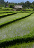 Little house in a terraced rice field, Bali island, Jatiluwih, Indonesia (Eric Lafforgue) Tags: agricultural agriculture angle asia asian bali balinese beautiful breathtaking countryside crops cultivated cultivation culture farming farmland fields green growing img46861 indonesia indonesian irrigation landscape lush nature nopeople paddies reflection rice ricefields ricepaddies riceterraces rural scenery scenic southasian subak terrace terracefarming terraced terraces terracing unescoworldheritagesite vertical view water jatiluwih baliisland