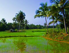 Vanishing Beauty (GOPAN G. NAIR [ GOPS Creativ ]) Tags: india photography greenery karnataka paddyfields udupi dragondaggerphoto gopsorg gopangnair