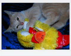 Merry LOL Xmas!!! (Srch) Tags: christmas xmas cat navidad orangecat polo patito gingercat peluche yellowduck nikond60 oneweekproject patoamarillo catnipaddicts