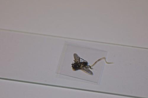 mosca de laboratorio